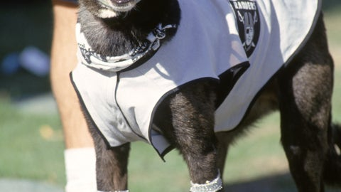 Cool Raiders dog is cool