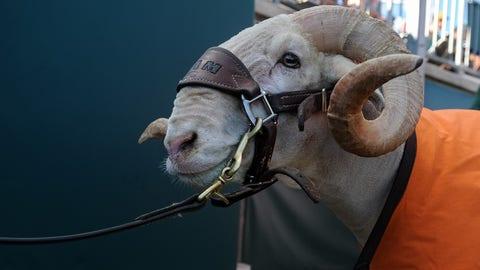 Cam the Ram — Colorado State Rams