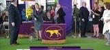 American Hairless Terrier | Breed Judging (2017)