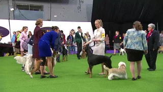 Watch the Junior Showmanship Competition at the 2017 Westminster Dog Show (Part 1)
