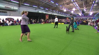 Watch the Junior Showmanship Competition at the 2017 Westminster Dog Show (Part 2)