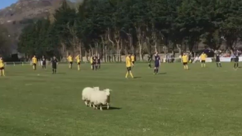 Watch these sheep interrupt a match in Wales in a rather cute pitch invasion