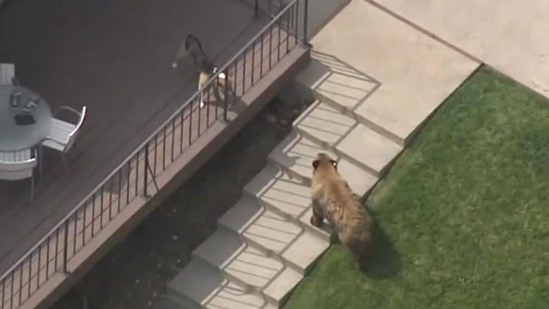 Courageous dog chases away bear that went for swim in family pool