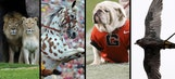 Top 25 live animal mascots in college football