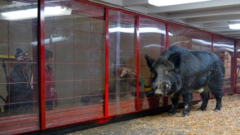 Tusk - Arkansas Razorbacks