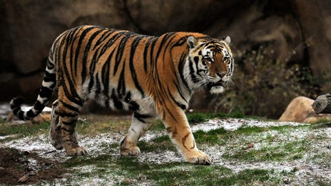 Mike the Tiger — LSU Tigers
