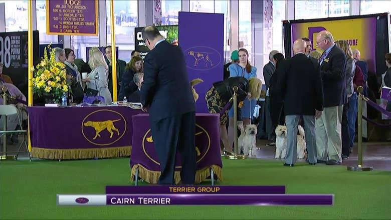 Cairn Terrier | Breed Judging (2017) | FOX Sports