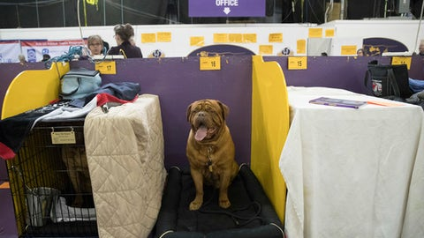 Humphrey Bogart, a dogue de Bordeaux, is seen in the benching area during the 141st Westminster Kennel Club Dog Show, Tuesday, Feb. 14, 2017, in New York. (AP Photo/Mary Altaffer)