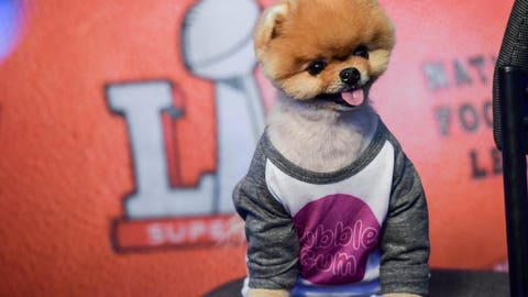 Feb 3, 2017; Houston, TX, USA; A dog poses for a photo on SiriusXM radio row in preparation for Super Bowl LI at the George R. Brown Convention Center. Mandatory Credit: Shanna Lockwood-USA TODAY Sports
