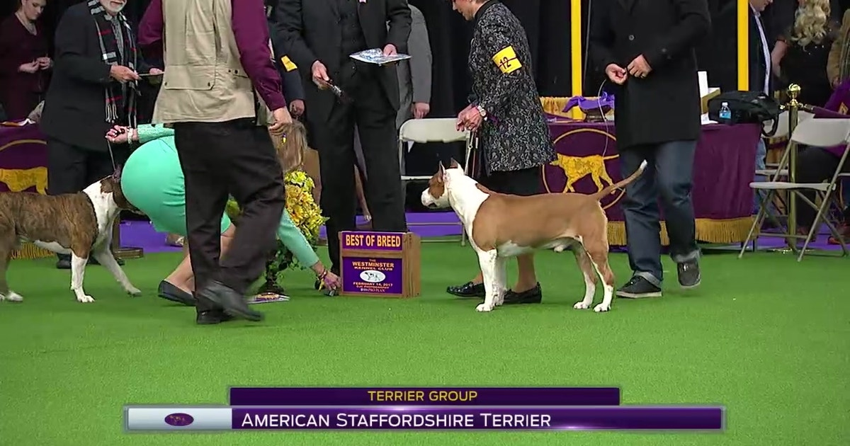 American Staffordshire Terrier | Breed Judging (2017)