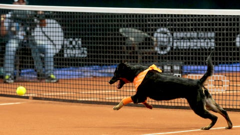 A dog runs after a tennis ball during the Brazil Open tournament in Sao Paulo, Brazil, Thursday, Feb. 25, 2016. Four trained shelter dogs that once roamed the streets of Sao Paulo found themselves center stage at the ATP 250 Brazil Open tournament. The unusual initiative was made to promote the adoption of abandoned street animals. (AP Photo/Leandro Martins)