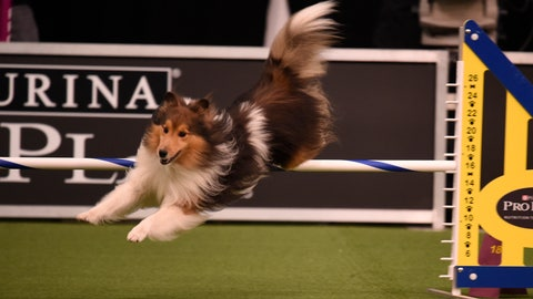 Top dogs at agility competition