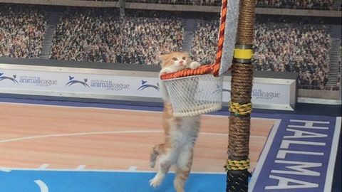 """In this Jan. 26, 2017, photo, a cat hangs from a basket on a mock basketball court, which was set up for Hallmark Channel's """"Meow Madness"""" television show, at a soundstage in New York. Watch out Villanova and Kentucky (and Arizona and Northwestern), there's a new set of cats going wild for March Madness.Time for Meow Madness, coming in April. Buoyed by the success of the Kitten Bowl, the Hallmark Channel is debuting a new show hosted by Beth Stern that will air on Monday April 3, the same day as the NCAA men's basketball national championship game. (AP Photo/Doug Feinberg)"""