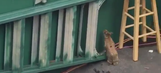 Trapped bunny tries to make dramatic escape during Opening Day in Washington