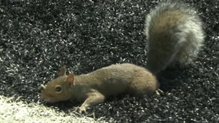Watch this squirrel sprint for a touchdown then celebrate in the end zone