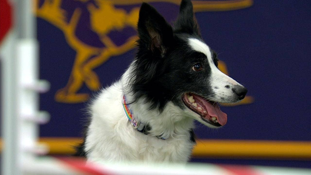 Watch Fame(US) win the 2018 Masters Agility Championship