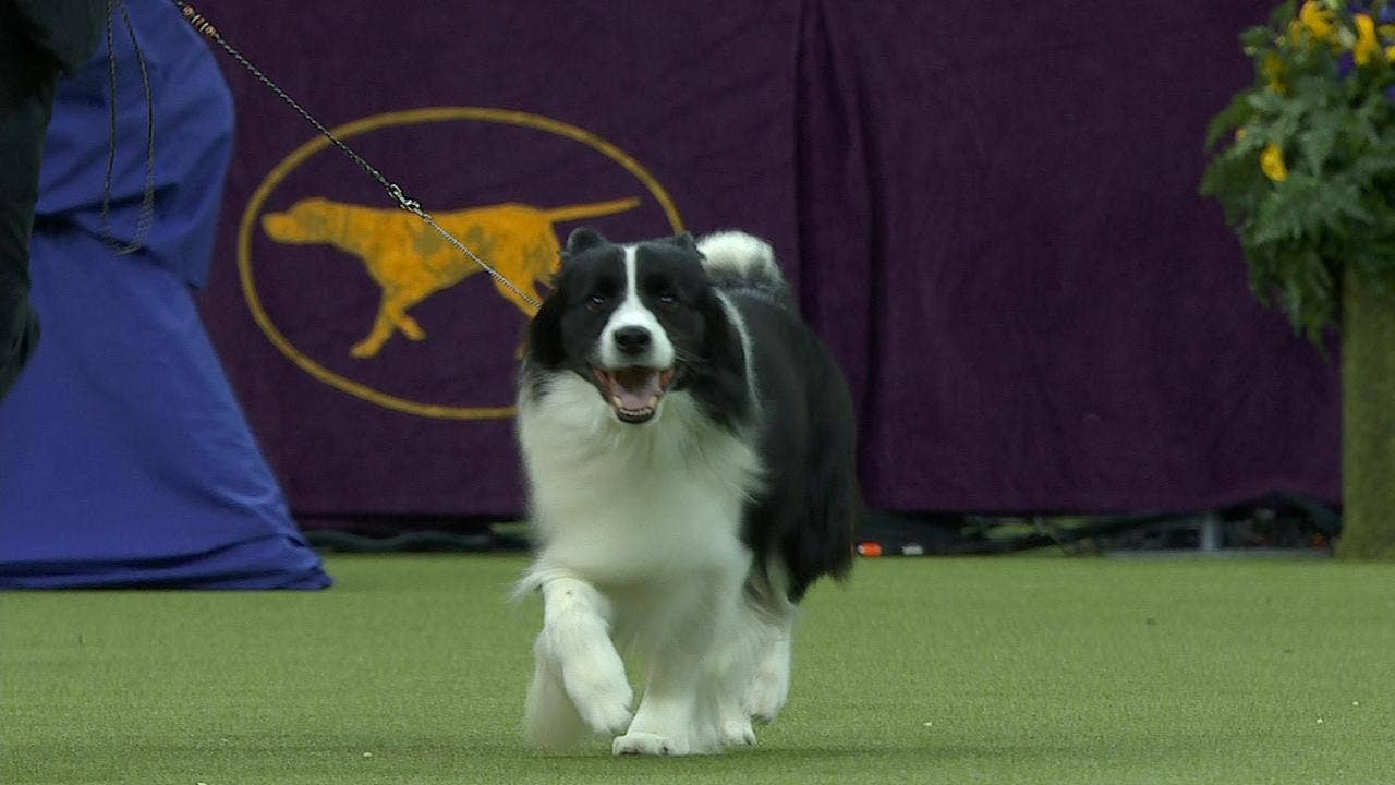 Watch Flick the Border Collie win the 2018 Westminster Kennel Club Dog Show  Herding Group