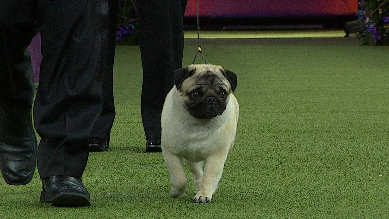 Watch Biggie the Pug win the 2018 Westminster Kennel Club Dog Show Toy Group