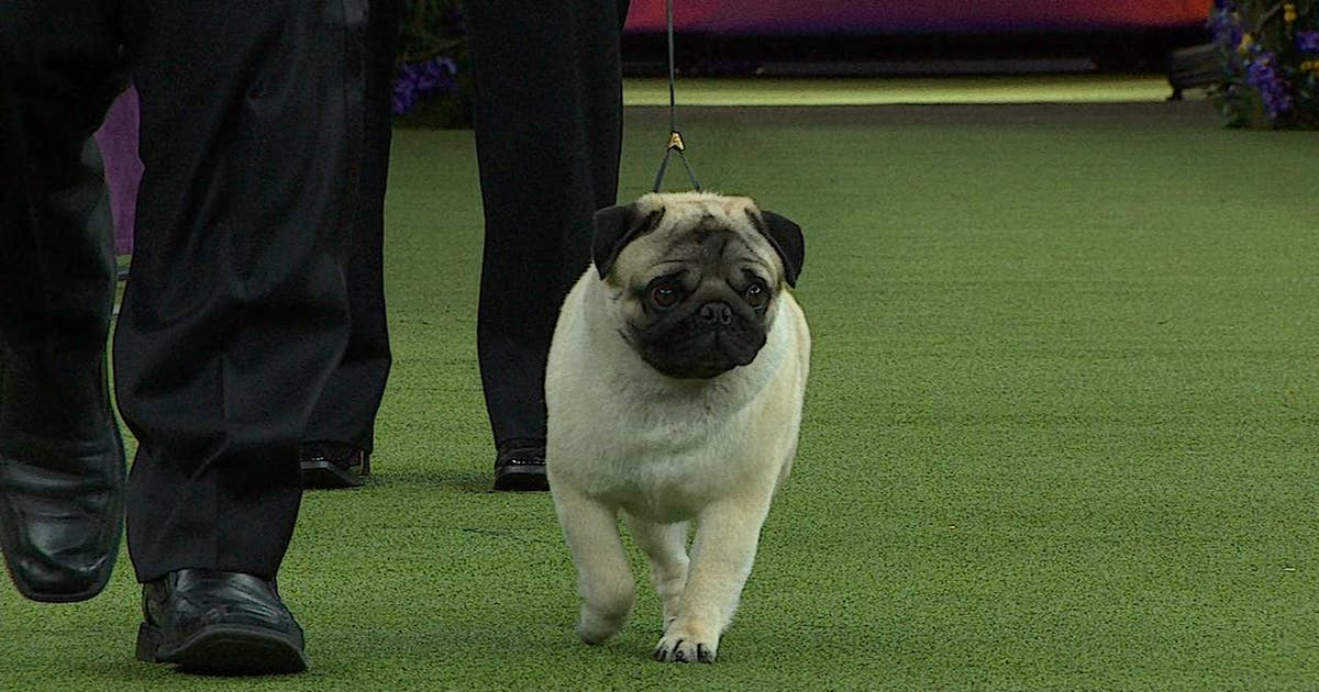 Watch Biggie The Pug Win The 2018 Westminster Kennel Club Dog Show