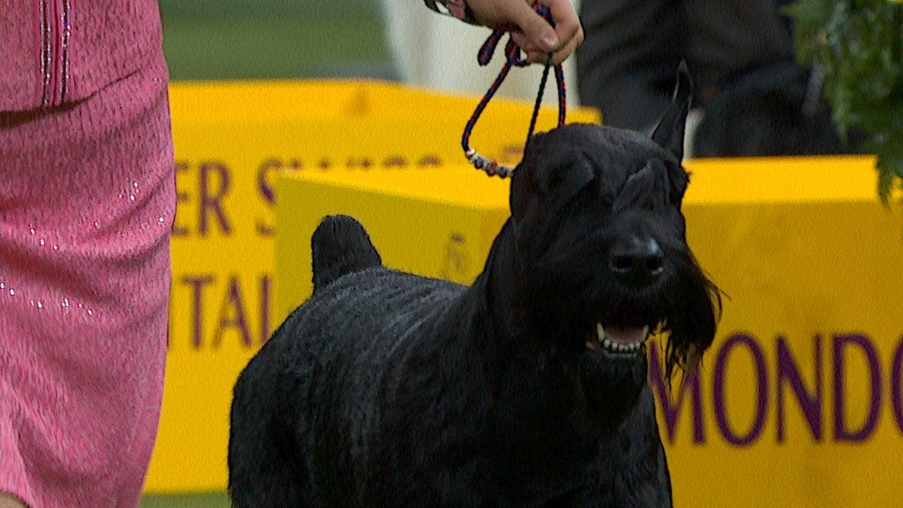 Ty the Giant Schnauzer wins the 2018 Westminster Kennel Club Dog Show  Working Group