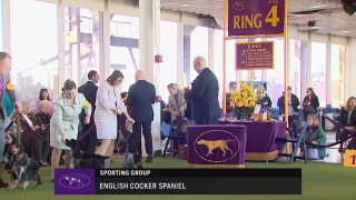 Ring 4 – English Cocker Spaniel