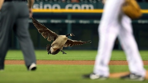 Canada goose settles into right-centre field at Detriot Tigers game