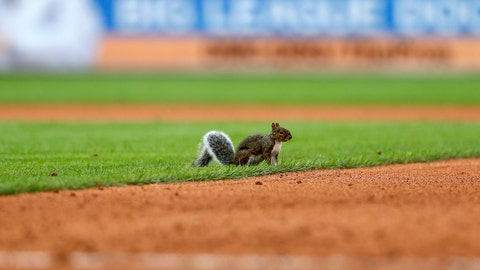 <p>               A squirrel runs onto the field in the seventh inning of a baseball game between the Detroit Tigers and the St. Louis Cardinals in Detroit, Sunday, Sept. 9, 2018. The game was delayed due to the animal but the Cardinals scored five runs after play resumed. (AP Photo/Paul Sancya)             </p>