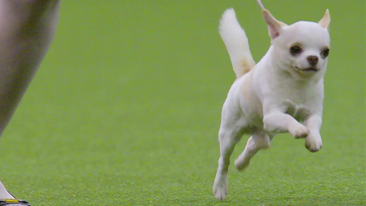 WKC Dog Show: Meet the Toy Group