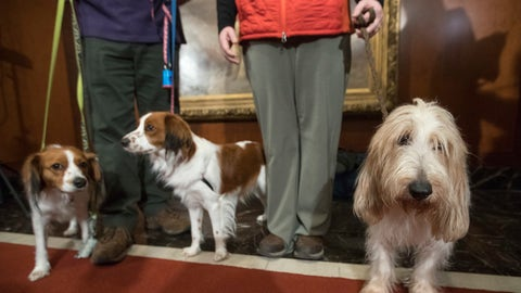 <p>               FILE - In this Jan. 10, 2018 file photo, Escher, left, and Rhett, center, Nederlandse kooikerhondje, and Juno, right, a grand basset griffon Vendeen, are shown by their handlers during a news conference at the American Kennel Club headquarters in New York. The two breeds are eligible to compete in the Westminster Kennel Club dog show for the first time in 2019. (AP Photo/Mary Altaffer, File)             </p>