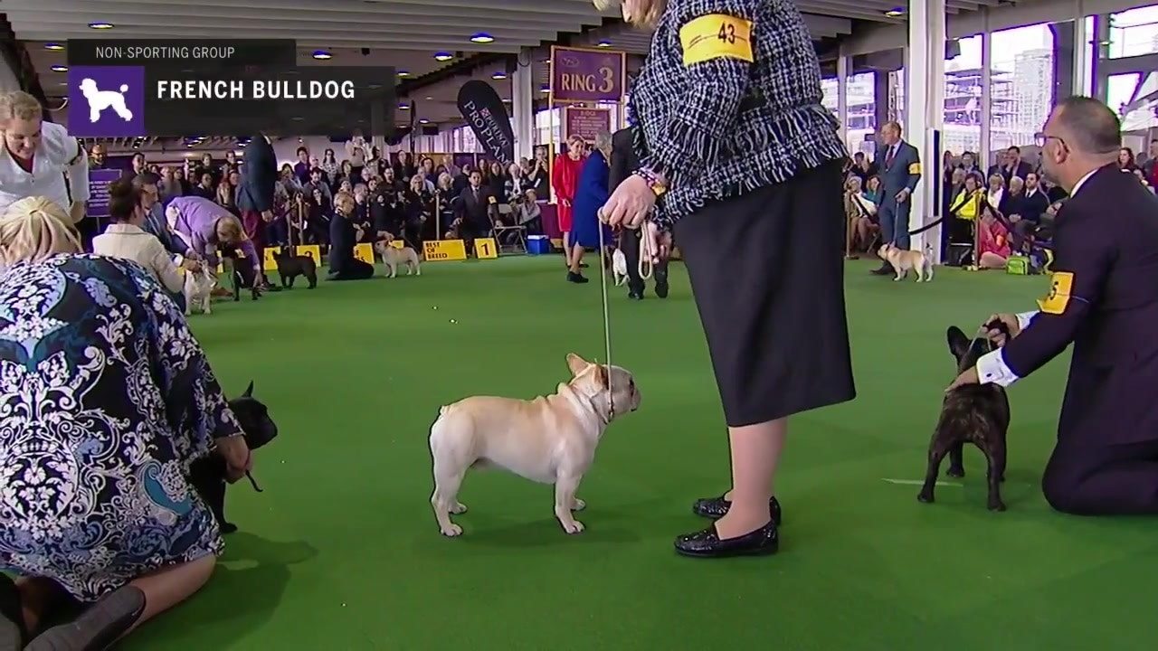 French Bulldogs Part 2 Breed Judging 2019 Fox Sports