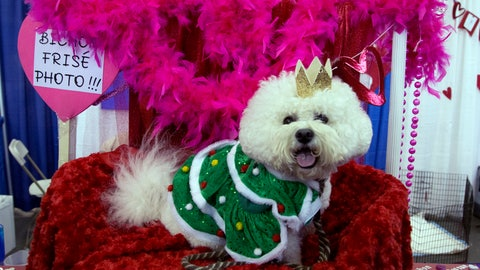 <p>               Casey, a bichon frise, poses for photos during the meet the breeds companion event to the Westminster Kennel Club Dog Show, aturday, Feb. 9, 2019, in New York. (AP Photo/Nat Castaneda)             </p>