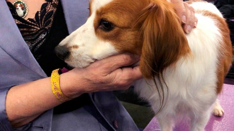 <p>               Primadonna, a grand champion Nederlandse kooikerhondje, sticks close to handler Deborah Bean at the Westminster Kennel Club dog show on Tuesday, Feb. 12, 2019, in New York. The Nederlandse kooikerhondje are one of two new breeds at Westminster this year, and also perhaps the most shy. Unlike the gregarious labs or curious terriers, the Nederlandse kooikerhondjes almost all stayed hidden away in their crates until it was their turn in the ring. (AP Photo/Jake Seiner)             </p>