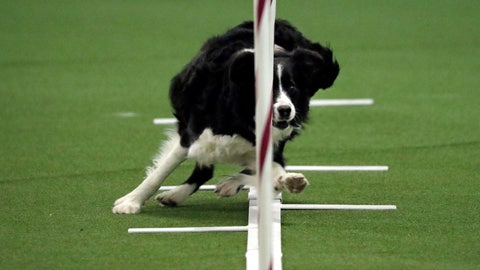 <p>               Border collie named Stella competes in the masters agility preliminary rounds during the Westminster Kennel Club Dog Show, Saturday, Feb. 9, 2019, in New York. (AP Photo/Wong Maye-E)             </p>