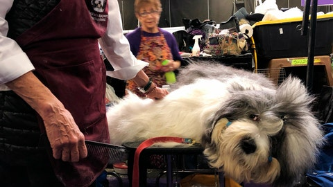 <p>               Monty, an Old English Sheepdog, is groomed ahead of competing at the Westminster Kennel Club dog show in New York on Monday, Feb. 11, 2019. He's known for sleeping on the competition - literally. He fell asleep before a recent show in Canada while getting groomed, then woke up and won the Best in Breed. (AP Photo/Jake Seiner)             </p>