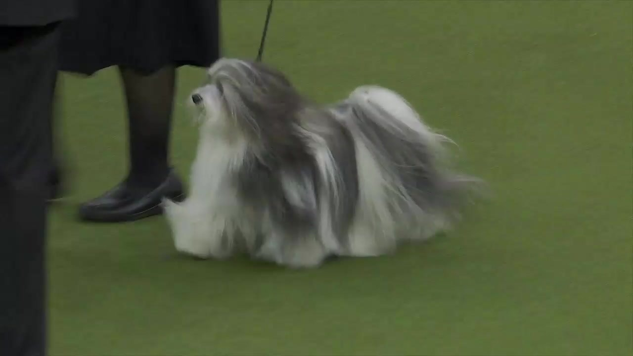 'Bono' the Havanese wins Reserve Best in Show at the Westminster Kennel  Club Dog Show