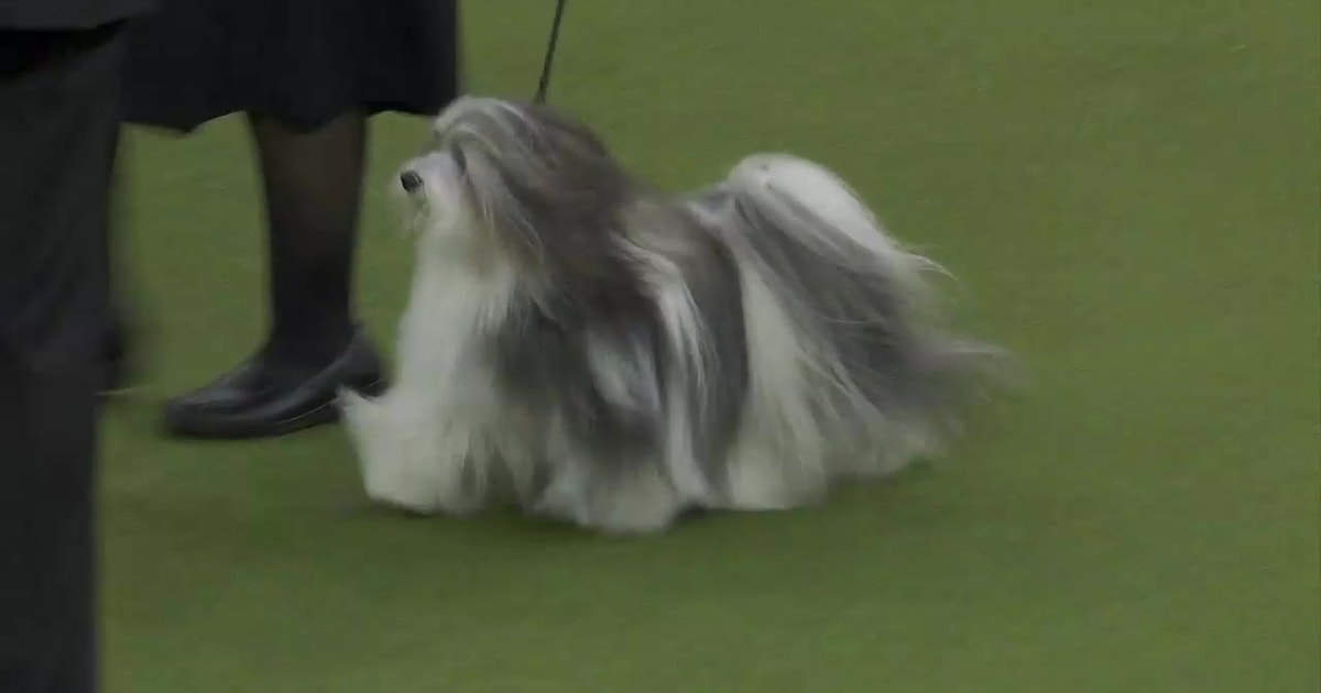 'Bono' the Havanese wins Reserve Best in Show at the