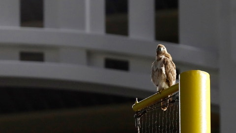 <p>               A red-tailed Hawk sits atop the right field foul pole at Yankee Stadium during a baseball game between the New York Yankees and the Toronto Blue Jays, Tuesday, June 25, 2019, in New York. The red-tailed hawk has become a sensation in the Bronx, showing up in the last week or so and picking out perches all over the ballpark. (AP Photo/Kathy Willens)             </p>