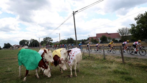 <p>               The pack rides past cows wearing jerseys during the seventh stage of the Tour de France cycling race over 230 kilometers (142,9 miles) with start in Belfort and finish in Chalon sur Saone, France, Friday, July 12, 2019. (AP Photo/Thibault Camus)             </p>