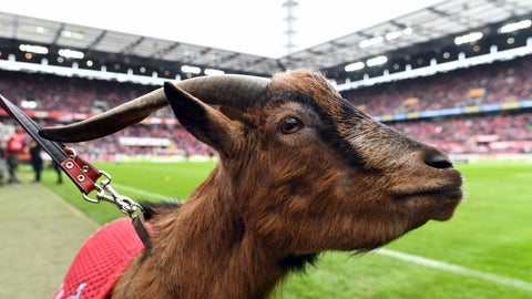 <p>               FILE-In this Dec. 13, 2017 file photo the mascot of German Bundesliga club Cologne, Hennes VIII., stands on the pitch prior to a match in Cologne, Germany. The goat called Hennes the Eighth, is retiring due to health reasons. The club says the 12-year-old Hennes suffers from age-related osteoarthritis and will see out his remaining days in the local zoo. The goat was an ever-present at Cologne games since 2008, taking in two relegations and two promotions. He is to be replaced by Hennes the Ninth, a 1-year-old goat of a traditional but endangered breed. (Foto: Federico Gambarini/dpa via AP)             </p>