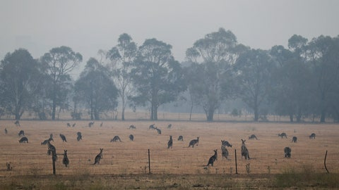 <p>               Kangaroos graze in a field as smoke shrouds the Australian capital of Canberra, Australia, Wednesday, Jan. 1, 2020. Australia deployed military ships and aircraft to help communities ravaged by apocalyptic wildfires that destroyed homes and sent thousands of residents and holidaymakers fleeing to the shoreline. (AP Photo/Mark Baker)             </p>