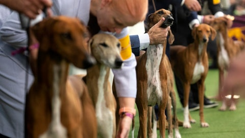 <p>               Azawakhs compete at the Westminster Kennel Club Dog Show on Sunday, Feb. 9, 2020, in New York. The Azawakh is a new breed to the Westminster show this year. (AP Photo/Wong Maye-E)             </p>