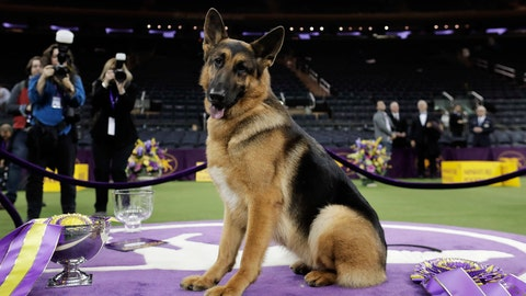 <p>               FILE - In this Feb. 15, 2017, file photo, Rumor, a German shepherd, poses for photos after winning Best in Show at the 141st Westminster Kennel Club Dog Show in New York.  Named best in show at Westminster in 2017, Rumor counts among her puppies two PTSD service dogs that live with veterans. Two more pups are training toward that goal.  (AP Photo/Julie Jacobson, File)             </p>