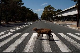 AP PHOTOS: Oh, deer! Treasured animals wander Nara streets