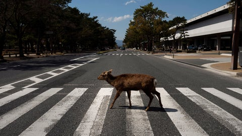 <p>               A deer walks across a pedestrian crossing in Nara, Japan, Thursday, March 19, 2020. More than 1000 deer roam free in the ancient capital city of Japan. Despite the town's tourism decline, these wild animals are doing just fine without treats from tourists, according to a deer protection group. (AP Photo/Jae C. Hong)             </p>