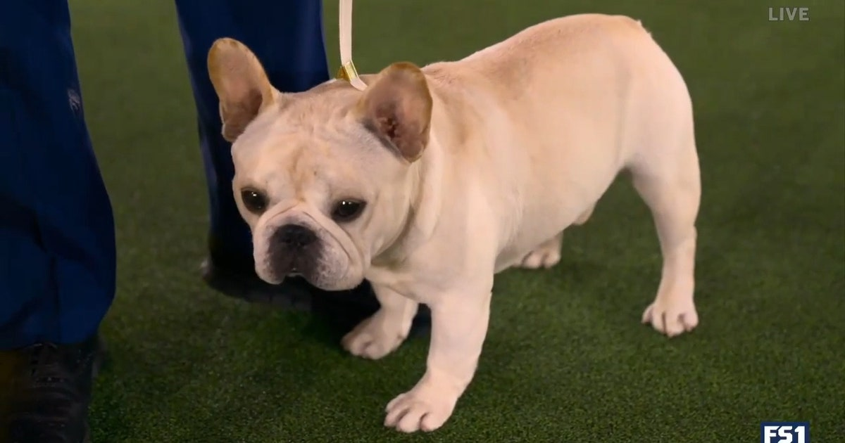 Mathew, the French Bulldog, takes top spot in Non-Sporting Group (VIDEO)