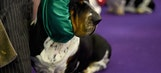 Westminster Dog Show: 23 prim-and-proper (and lovable) dogs