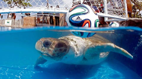 Sea turtle picks Brazil to win opening match