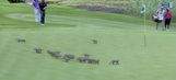 A pack of mongooses invaded a European Tour event and were very respectful