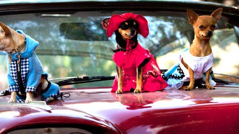 In this Nov. 25, 2012 photo, chihuahua dogs in costume, from left, Petite, Legrand and Lentille, sit on the hood of a classic American car at the Fall