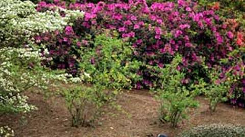 Tiger blossom